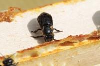 schwarze, kranke Biene