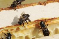 Kranke Bienen