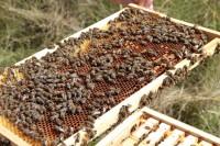 Bienen auf Wabe / Foto © Elke Puchtler