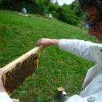 Rähmchen mit Bienen