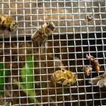 Tote Bienen und Puppen