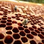 Schlüpfende Bienen, die der Tot ereilte