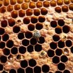 Wabe mit Biene, die während des Schlüpfvorgangs starb