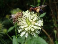 Biene und Fliege traut vereint