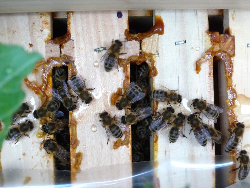Bienen aus dem Sternwartenvolk