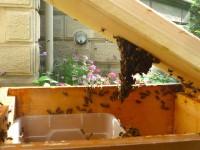 """""""Bienenleiter"""", Traube am Deckel, die bis zur Futterkiste herab reicht"""