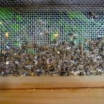 Tote Bienen im Absperrgitter nach Räuberei