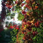 Herbstlaub an der Regnitz, Erba-Insel