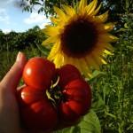Sonnenblume, Tomate … diese heile Welt bleibt uns nur mit Bienen!