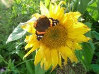 Sonnenblume mit Tagpfauenauge