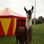 Lama vor Winterzelt im Freigelände Don Bosco