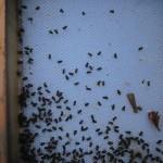 Tote Bienen auf Bodengitter