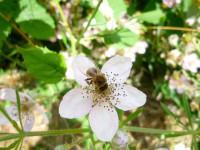 164-Biene-auf-Brombeerbluete