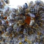 460-Bienen-reparieren-Honigwabe