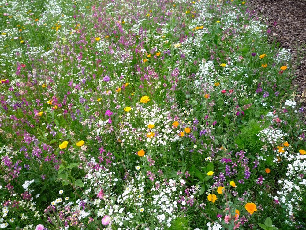 Blumenwiese nach einer Saatgutmischung