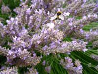 Hummel auf Lavendelblüten