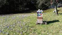 Sternwartbienen auf Krokuswiese