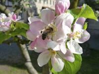 Biene in Apfelbaumblüte