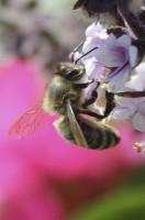 Biene an Basilikum