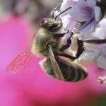 Biene an Afrikanischem Basilikum