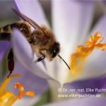 Biene auf Widkrokus