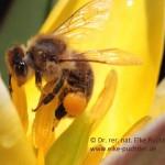 Biene auf Wildtulpe