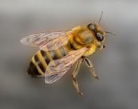 Westliche Honigbiene – apis mellifera