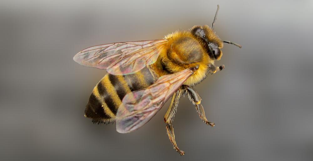 Apis mellifera – Westliche Honigbiene