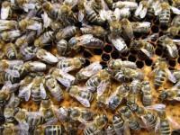 Die noch ungezeichnete Königin der Sternwartbienen