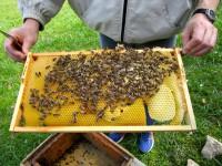 Bienen auf Rähmchen