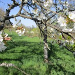 Kirschblüte in Wildensorg