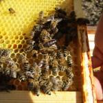 """Bienenkönigin des Patenvolk von Meike Winnemuth (""""Friedhofsschwarm"""")"""
