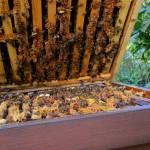 Bienenvolk an der Weide, Bamberg