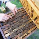 Entfernen des Wachsüberbaus am Bienenvolk an der Weide, Bamberg