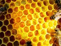 Eingelagerter Pollen in einer Wabe