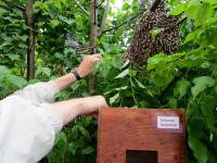 Reinhold schlägt die Bienen in den Schwarmfangkasten ein