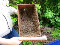 2295-Bienen-in-Schwarmfangkasten