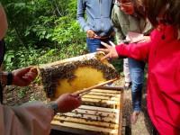 Mutprobe Honigschlecken aus einer mit Bienen besetzten Wabe