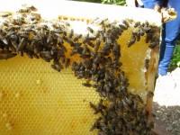 Honigwabe mit ansitzenden Bienen