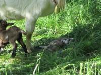 Ziegenmutter mit neugeborenem Zicklein