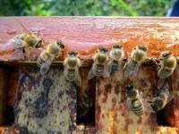 2848-Honigaufnehmende-Bienen
