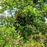 Bienenschwarm im Weißdorn, davor Gespinstmotten