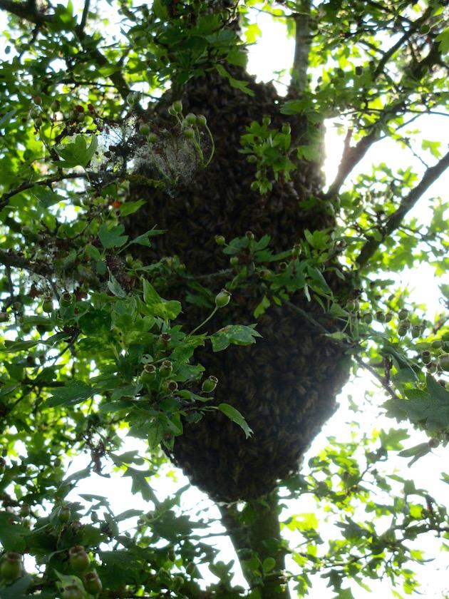Bienenschwarm im Weißdorn