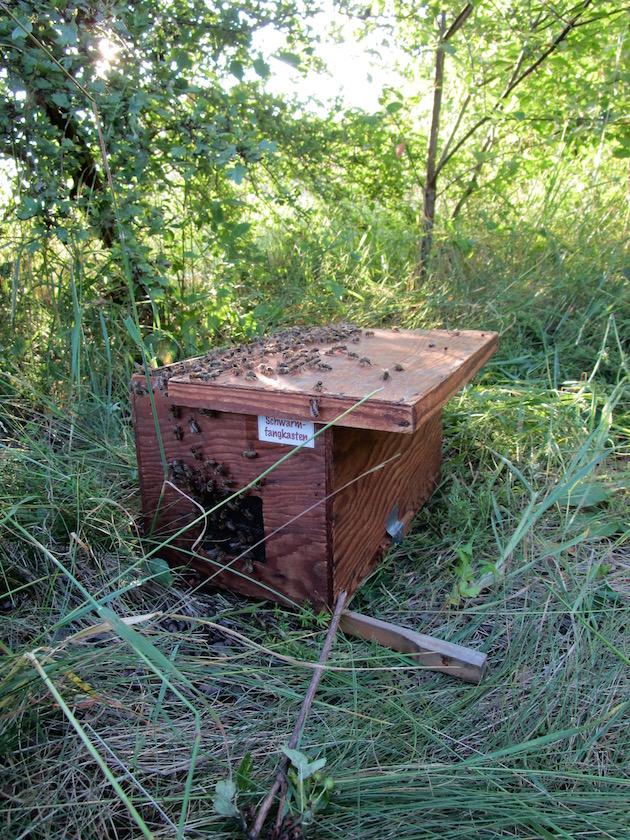 Bienen im Schwarmfangkasten