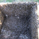 frisch eingeschütteter Bienenschwarm