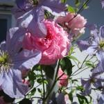 Klematis und Rose