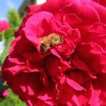 Biene in Englischer Rose