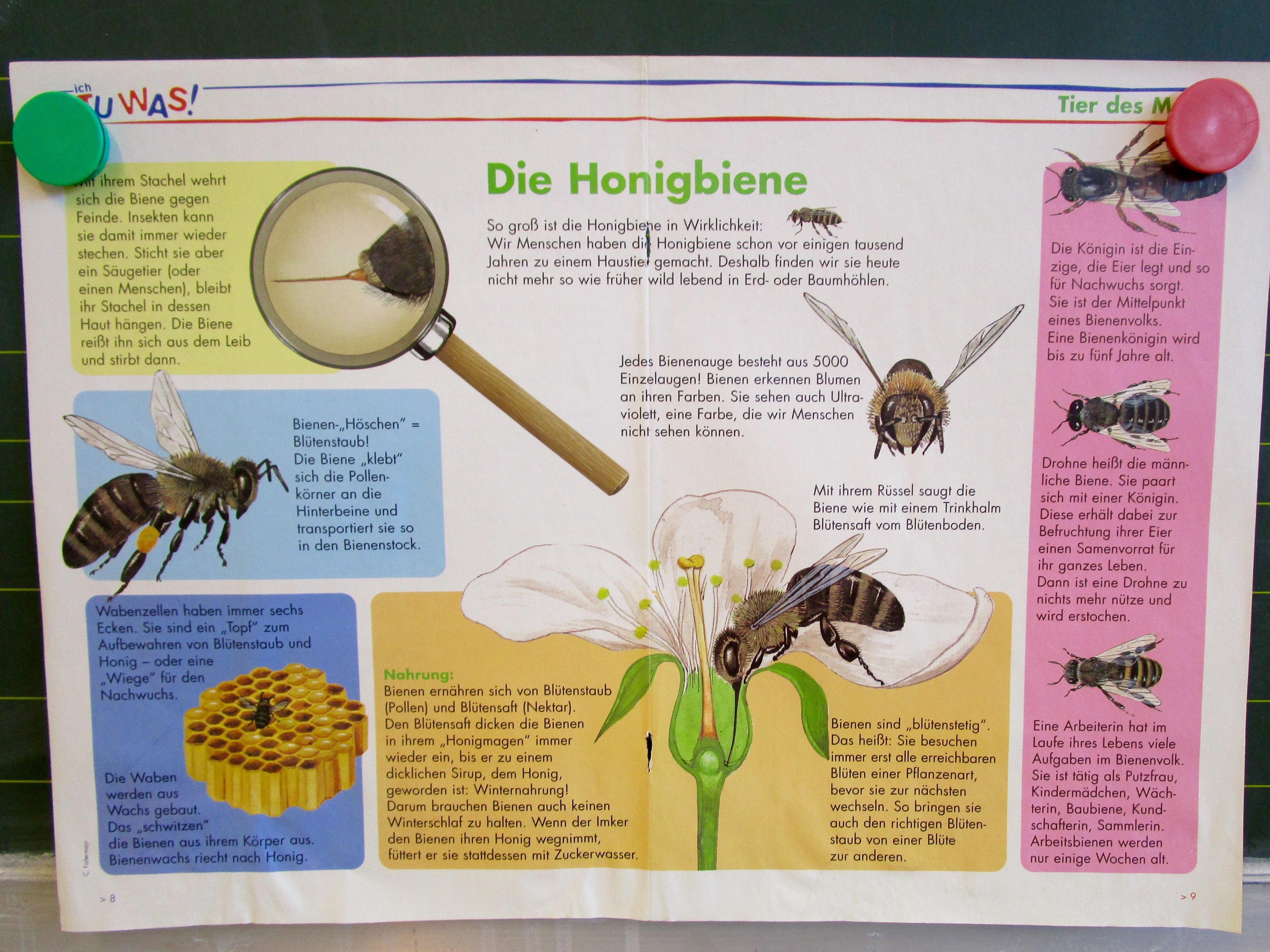 Arbeitsblatt Bienen Grundschule : Honigbienenplakat ich tu was bienen leben in bamberg