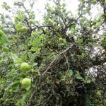 Uralter Apfelbaum