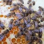 Bienen auf Honigwabe (Nahaufnahme)